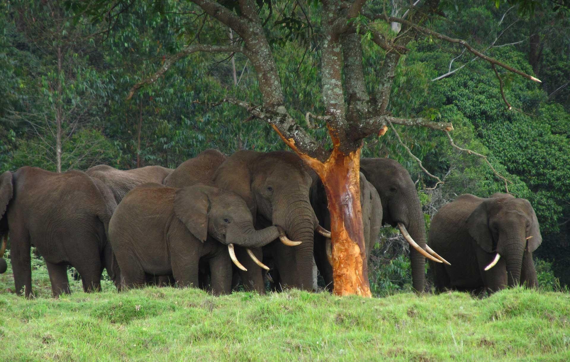 Elephants eating an Avocado Tree